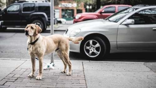 dog animal pet car vehicle