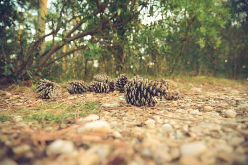 pine cones forest woods park nature