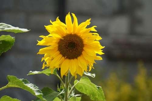 plants flower sunflower bokeh blur