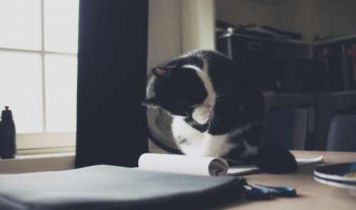 cat kitten animal pet desk