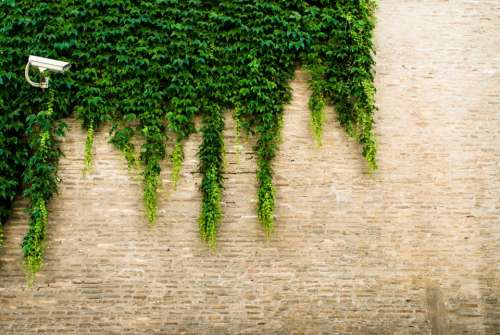 camera vines green plant wall