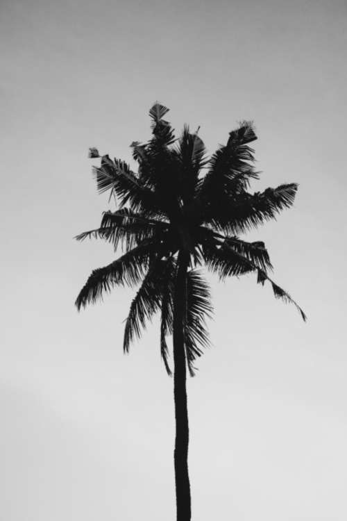 coconut tree cloudy summer nature