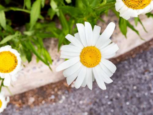 white petal yellow flower garden