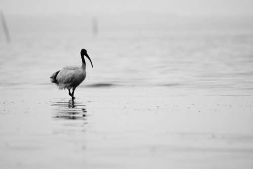 bird animals water black and white