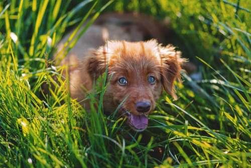 brown dog puppy pet animal