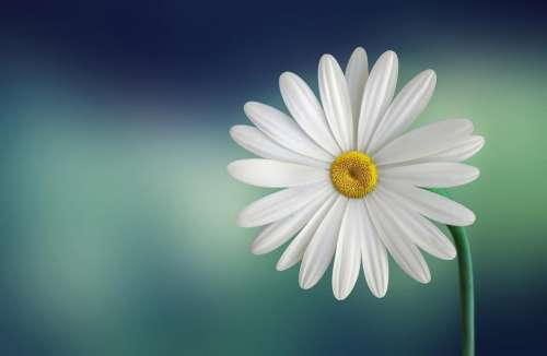 bloom blossom close-up daisy flora