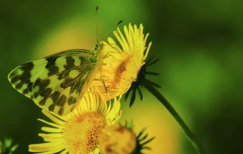 butterfly insect flower yellow green