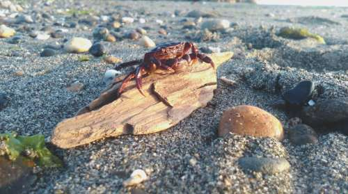 crab animal beach shore coast