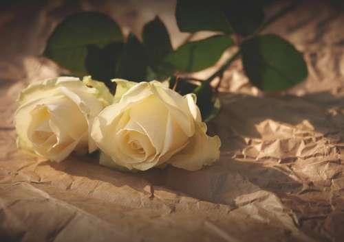 white roses flowers sunlight