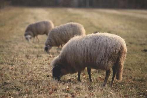 sheep animal green grass farm