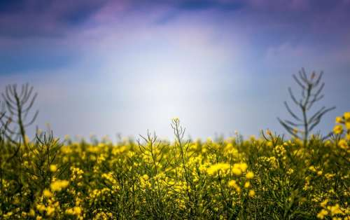 blue sky nature yellow plants