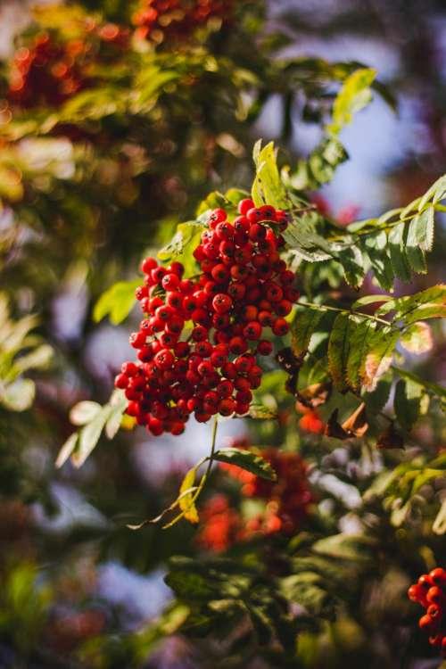 red fruit green leaf plant