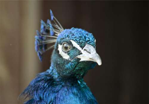 peacock bird animal blue