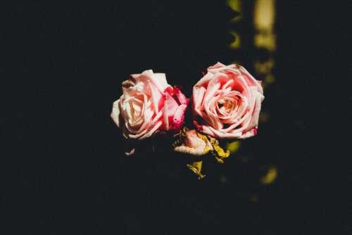 pink rose flower dark