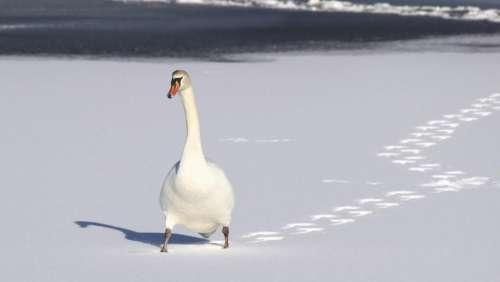swan duck white footprints animal