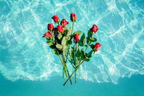 nature water flowers roses red