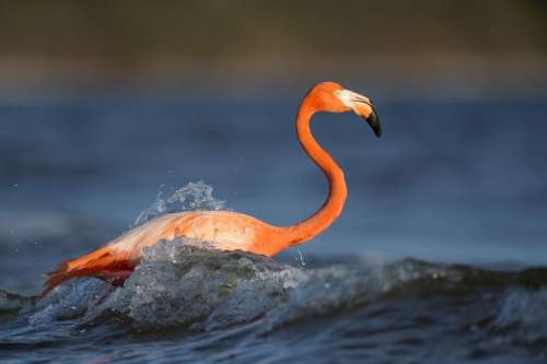 animals birds flamingo beak beautiful