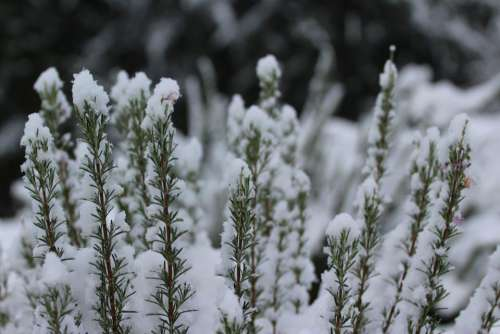 plant nature snow winter