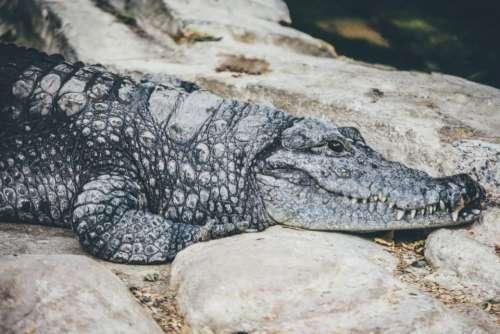 alligator predator reptile rough stone
