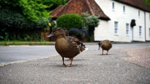 nature animals birds duck road