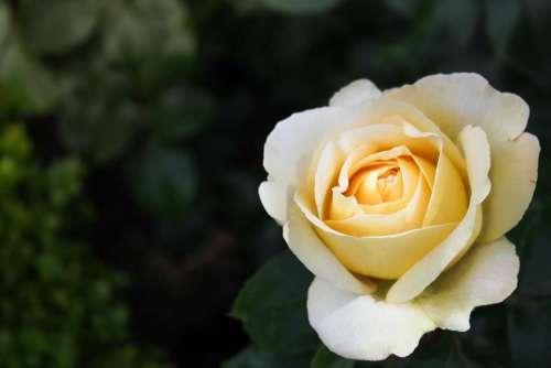 flower rose bloom white nature