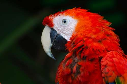 red green macaw bird animal
