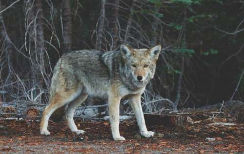 coyote animal wild nature