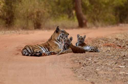 tiger animal wildlife forest nature
