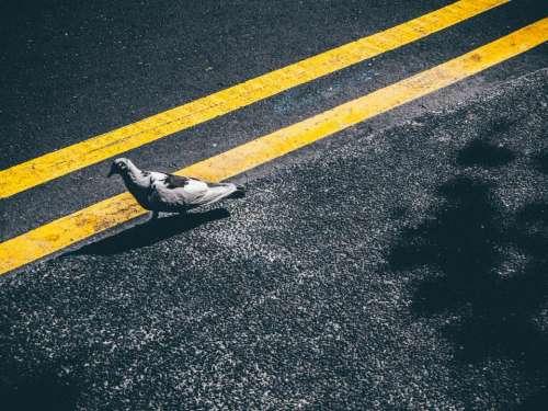 pigeon bird pavement road street