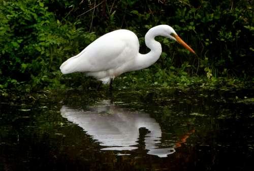 white heron water bird animal