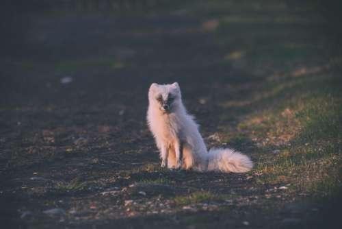 wolf animal nature field outdoor