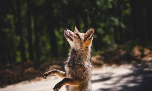 fox animal wildlife sunny day