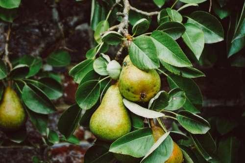 tree pears fruit green leaves