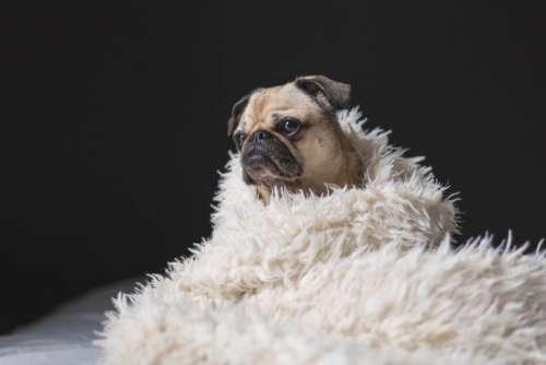dog pug animal bed sheet