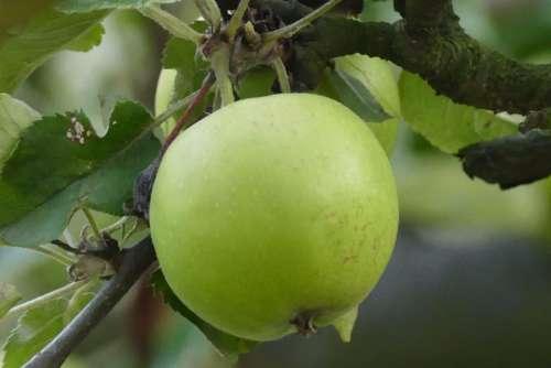 Poland apple fruit plant green