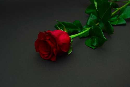 red rose flower flowers