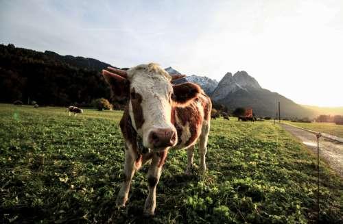 happy cow field farm animal