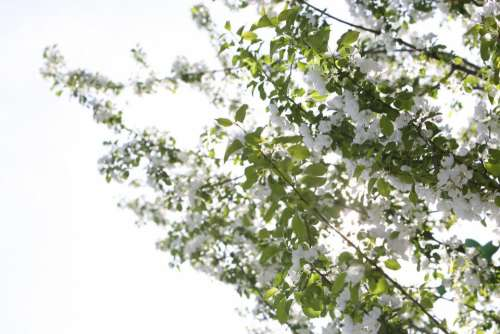 white cherry blossoms trees branches nature