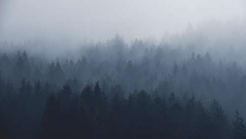 plants trees pine fog mountain