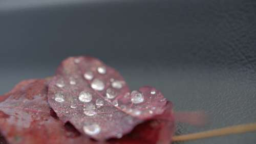 drops leaf water dew red