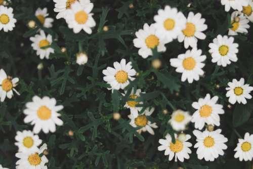 white daisy summer plant nature