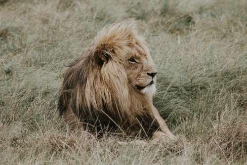 grass lion animal wildlife