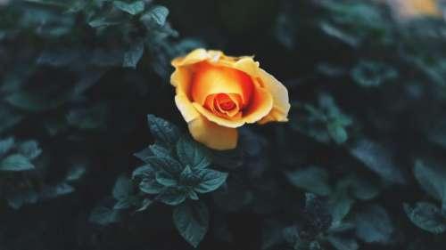 yellow petal flower bloom nature