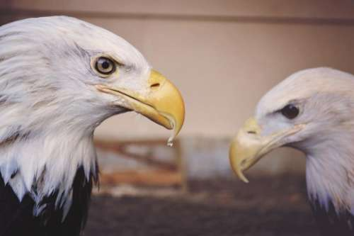 animals birds eagles beaks feathers