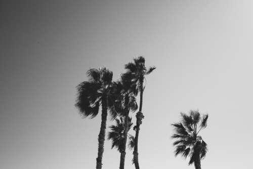 palm trees sky grayscale monochrome