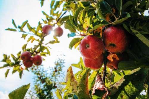 red apple tree fresh fruit