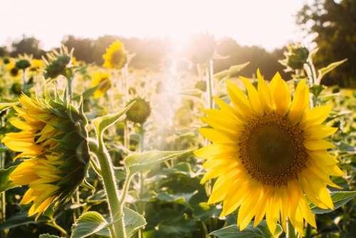 sunshine yellow sunflowers garden nature