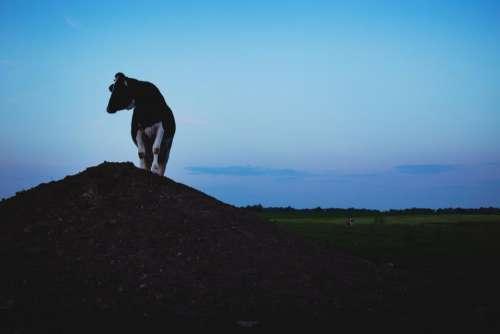 animals mammals cow land sky
