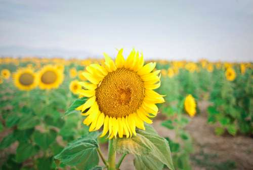 large sunflower field farm yellow