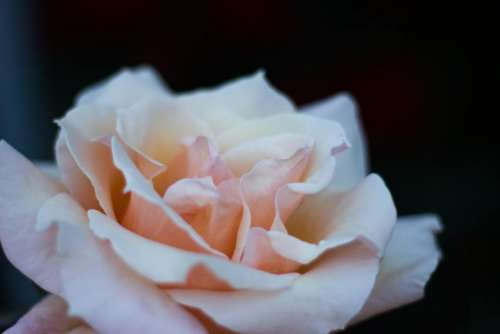 flowers nature blossoms pink petals